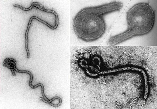Las cepas de virus de Ébola