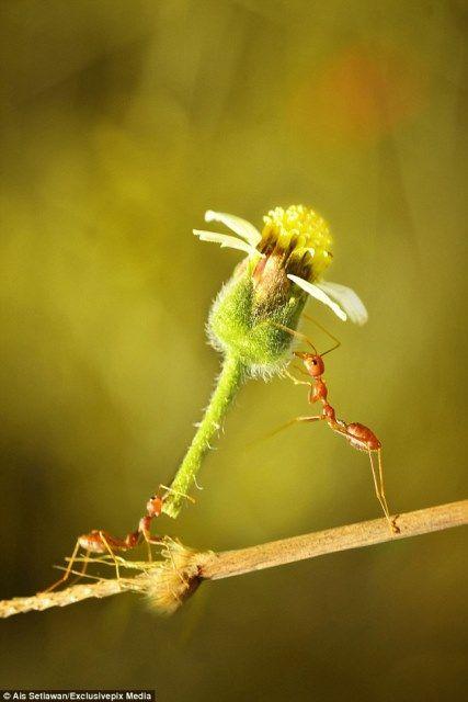 Pequeña hormiga roja demuestra que flores nunca están fuera de moda!