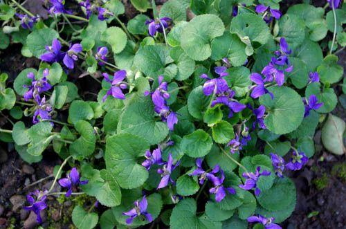 Comentarios deshacerse de violetas silvestres