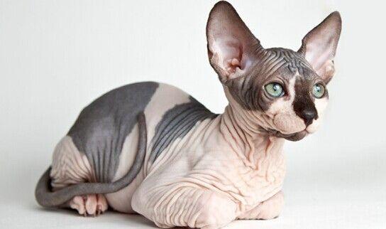 especies raras de gatos