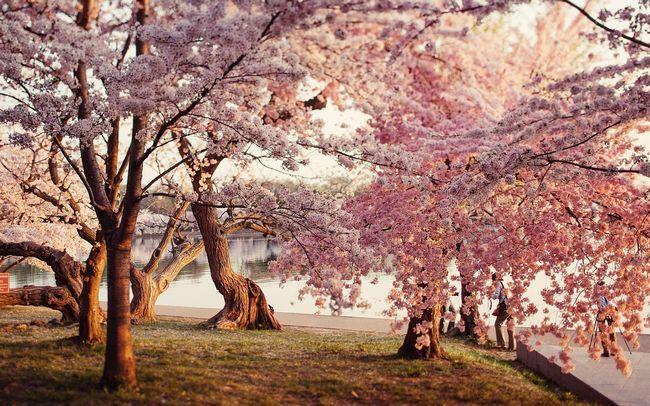 ¿Dónde se puede Disfrutar de la flor de cerezo?
